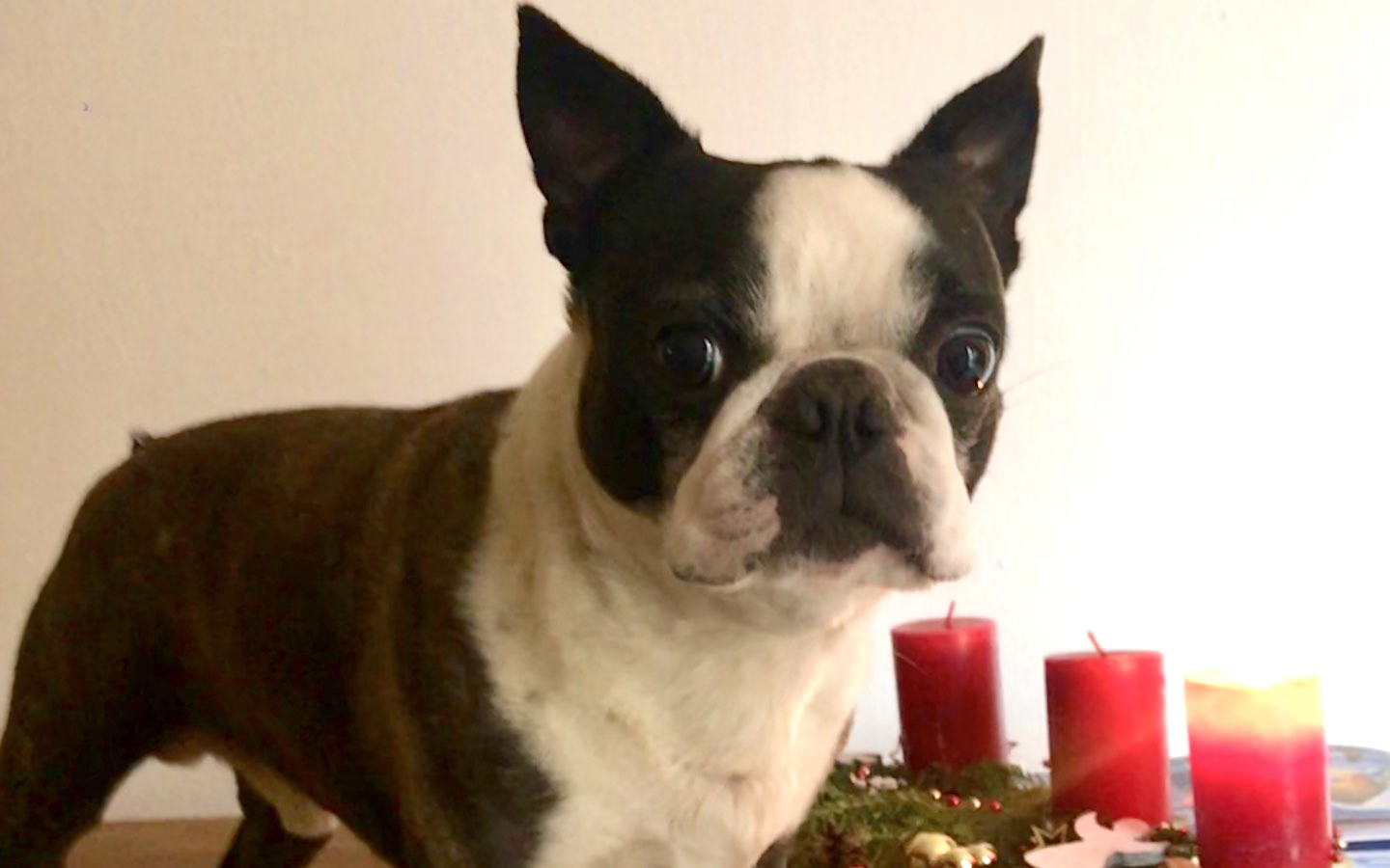 Romanstone High – Boston Terrier